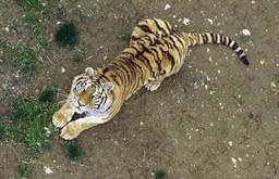 航拍:换个视角看老虎
