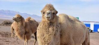 骆驼助肃北牧民致富