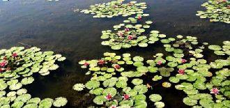 张掖湿地莲花盛开