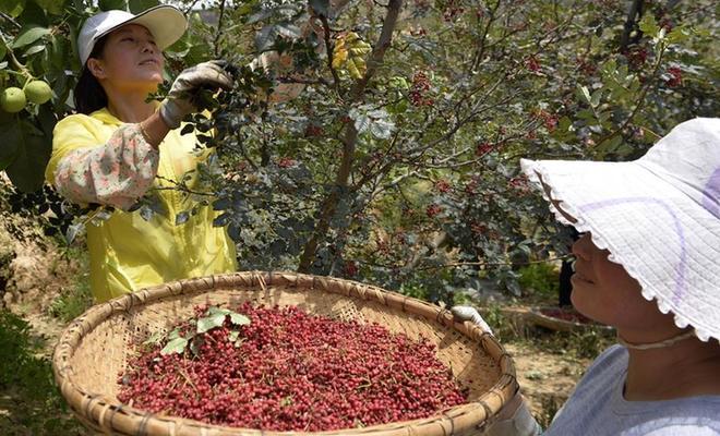 甘肃武都:花椒产业铺就致富路